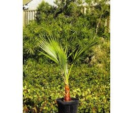 Washingtonia Robusta C-17 (60/80)