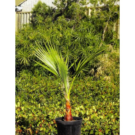 Washingtonia Robusta C-17