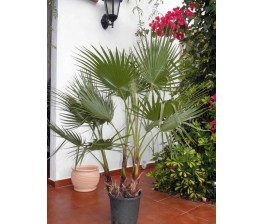 Washingtonia Robusta C-30 x 2 plantas (110/130)