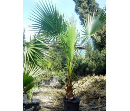 Washingtonia Robusta C-30 (120/130)