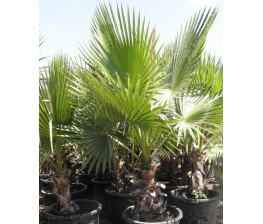 Washingtonia Robusta C-35