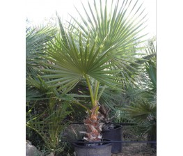 Washingtonia Robusta C-40 (130/170)