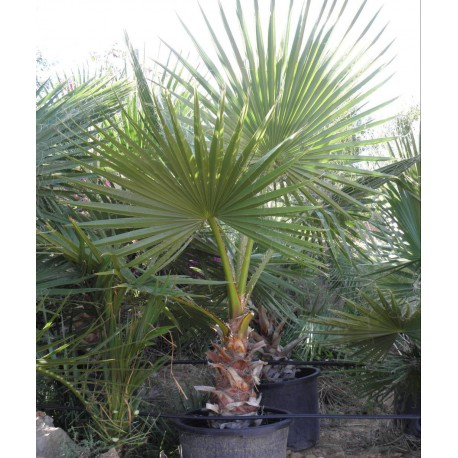Washingtonia Robusta C-40