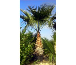 Washingtonia Robusta C-50a (180/220)