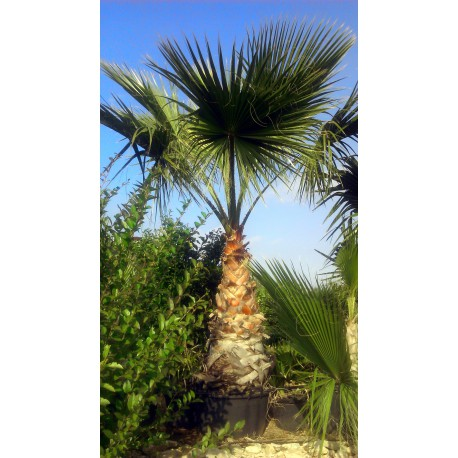 Washingtonia Robusta C-50a