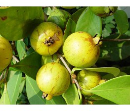 Guayabo Cattley.Psidium Catteianum C-12