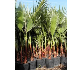 Washingtonia Robusta (1/2 plantas C-25 !!! OFERTA !!!!