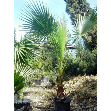 Washingtonia Robusta C-30