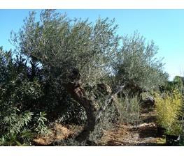 Olivo Ejemplar
