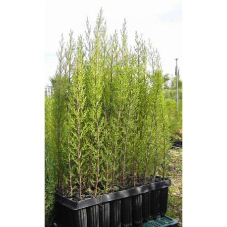 Cipres.Cupressus sempervirens. BF-40a (40/60 cms.)