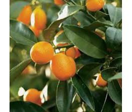 Kumquat C-20