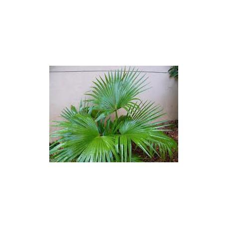 OFERTA! 2 x Livistonia Chinensis C-30