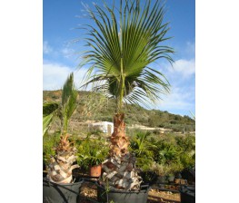 Washingtonia Robusta C-50