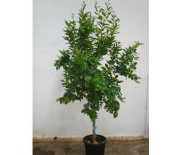 Mandarino Clementino C-35