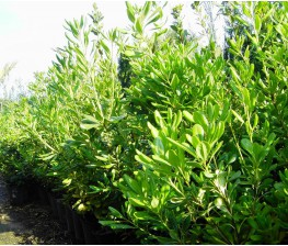 Pittosporum Tobira C-20