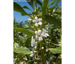 Myoporum Laetum.Siempreverde C-22 (90/110)