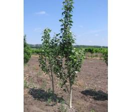 Chopo Simoni.Populus simonii. 8-12 cms.(160/170)