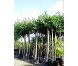 Morera Platanifolia  8-10 cms.