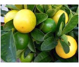 Limequat C-25