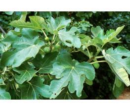 Higuera.Ficus carica. C-25a (130/150 )