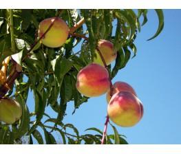 Melocotonero..Prunus persica. C-25a (120/140)