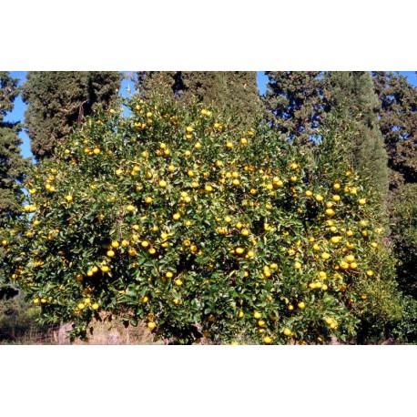 Citrus Citrange C 35 (lima bravia) C-17