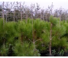Pino Piñonero (Pinus Pinea) C-25
