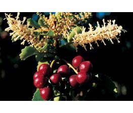 Avellano.Corylus avellana raiz. (70/90)