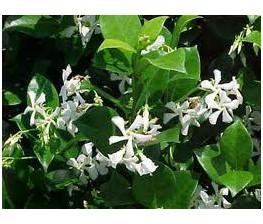 Jazmin Chino, jazmin estrellado.Trachelospernum Jasminoides C-25