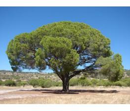 Pino Piñonero (Pinus Pinea) C-17(40/50)