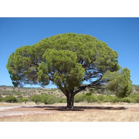 Pino Piñonero (Pinus Pinea) C-20