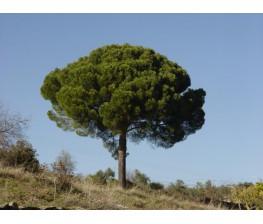 Pino Piñonero (Pinus Pinea) C-30