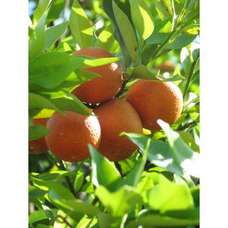 Citrus Orangequat C-25