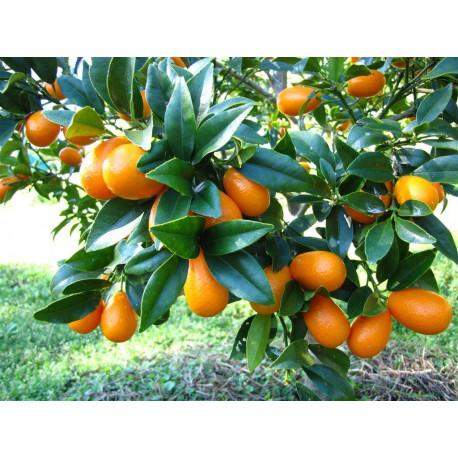 Kumquat C-30