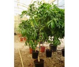 Mandarino Clementino C-25a