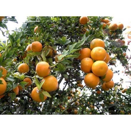Citrus Myrtifolia.Chinoto C-25 (-8ºC)