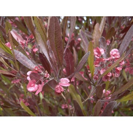 Dodonea viscosa purpurea C-17