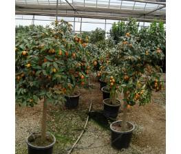 Kumquat C-35