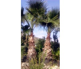 Washingtonia Robusta C-50b
