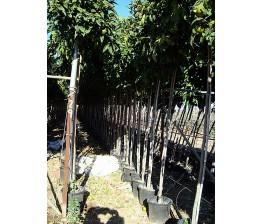 Naranjo amargo.Citrus Aurantium C-40. 12/14