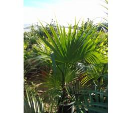 Livistonia Chinensis C-30