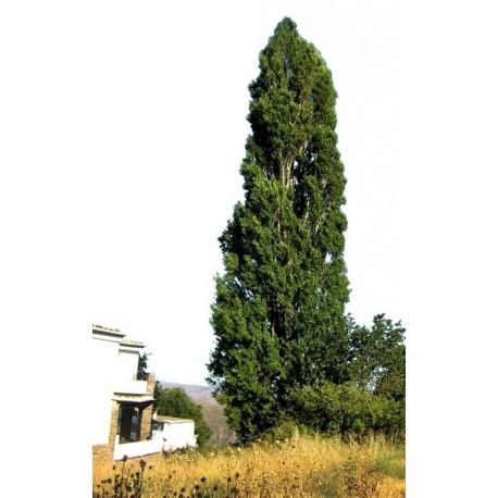 Chopo Simoni 12-14 cms. raiz.