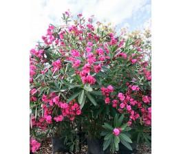 Adelfa.Nerium oleander. C-50 (160/180)