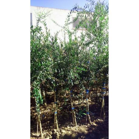 Limonero C. Caviar (Microcitrus australasica) 70/80 cms. a raiz.