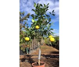 Limonero Yuzu (Citrus Junos) C-14