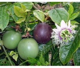 Maracuya.Passiflora edulis C-22 (100/120)