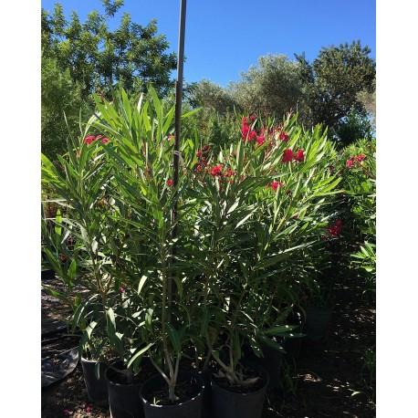 Adelfa.Nerium oleander. C-25 (90/110)