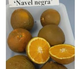 Naranjo Navel Chocolate.Citrus Sinensis. C-25