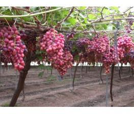 Parra de uva de mesa C-25a